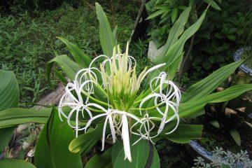 Cây náng hoa trắng và tác dụng chữa phì đại tuyến tiền liệt