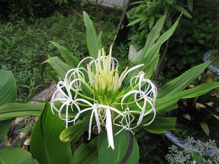 Cây náng hoa trắng và tác dụng chữa phì đại tuyến tiền liệt 1