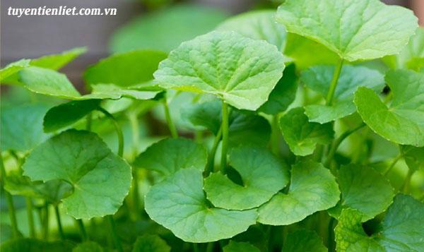 Bài 3: Búp tre, rau má chữa trị bí tiểu 1