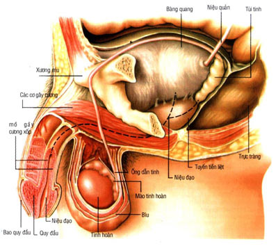 Chữa u xơ tuyến tiền liệt ở người già bằng cách bấm huyệt 1