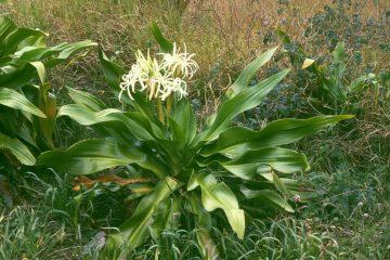 Náng hoa trắng và tác dụng chữa trị Phì đại tiền liệt tuyến