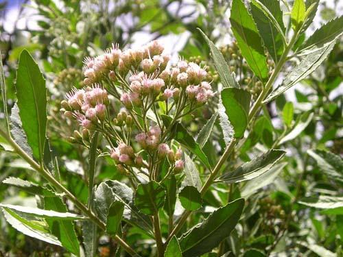 Bài thuốc chữa bệnh từ cây sài hồ nam 1