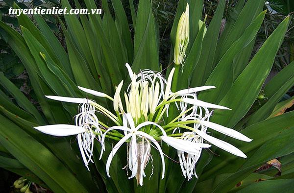 Mô tả về cây Náng hoa trắng 1