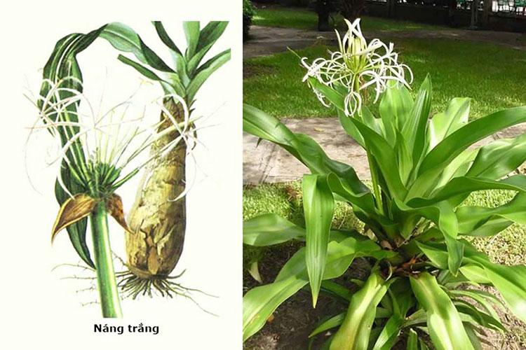Giới thiệu về cây Náng hoa trắng 1