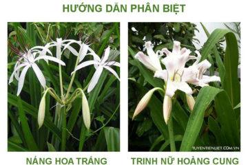 So sánh phân biệt Náng hoa trắng và Trinh nữ hoàng cung