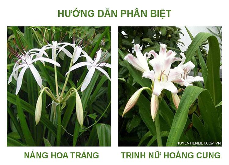 So sánh phân biệt Náng hoa trắng và Trinh nữ hoàng cung 1