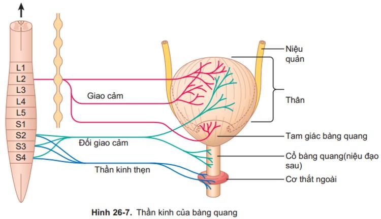 Do tổn thương hoặc rối loạn thần kinh 1